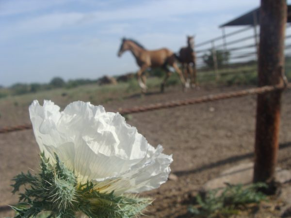 Beautiful white prickly poppy blazing in the warm Texas sun at Hutto riding stables north Of Austin